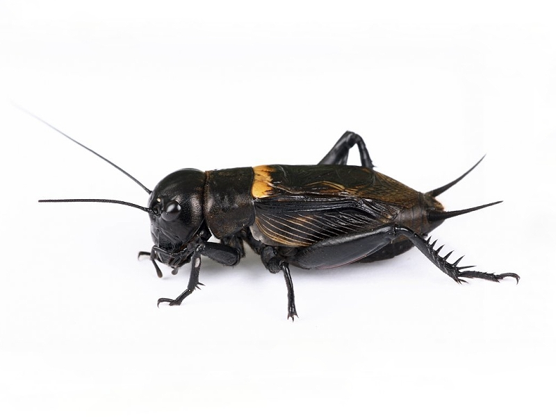 gryllus-bimaculatus-black-cricket